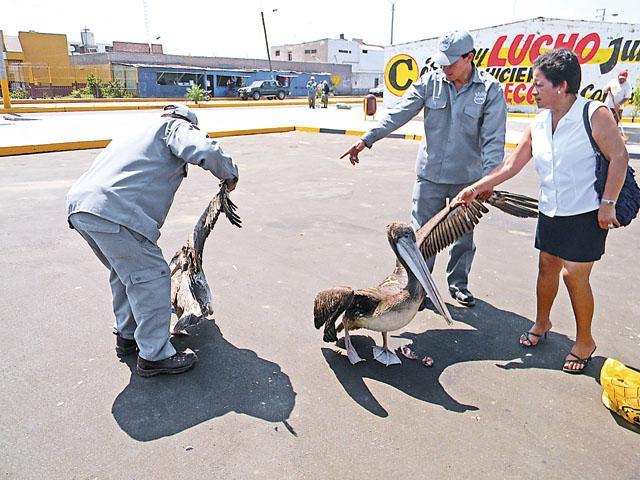 pelicanos de chimbote
