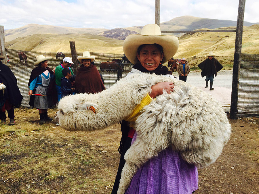 Proyecto-de-crianza-de-alpacas-se-inicia-en-Conga