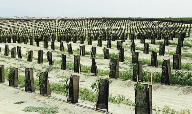 Olmos-cultivos