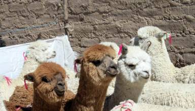 Productores alpaqueros de Japopunco mejoran crianza de camélidos con capital semilla de Southern Peru
