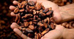 Cusco: Camisea impulsa proyecto de cacao con productores indígenas para llegar al mercado internacional
